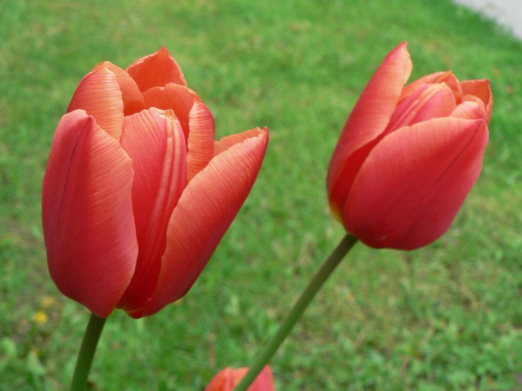Romantic Flowers Tulip Flower