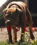 APBT CACHORRO MACHO- RED GOR
