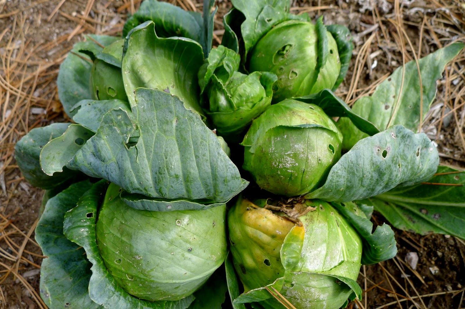 Earliana Cabbage