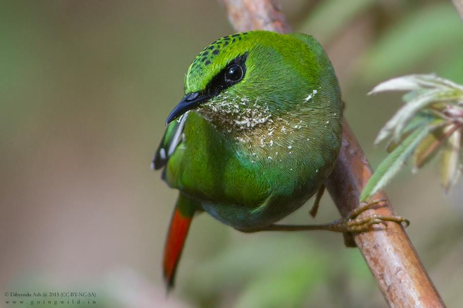 Fire-tailed Myzornis from Pangolakha Wildlife Sanctuary