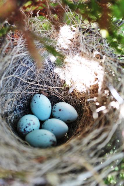 niebieskie jaja w ogrodzie,jakie ptaki maja niebieskie jaja,gniazdo w ogrodzie,blog lifestyle, wnętrza DIy, szczecin