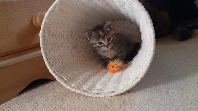 kitten plays in basket, funny cat photos
