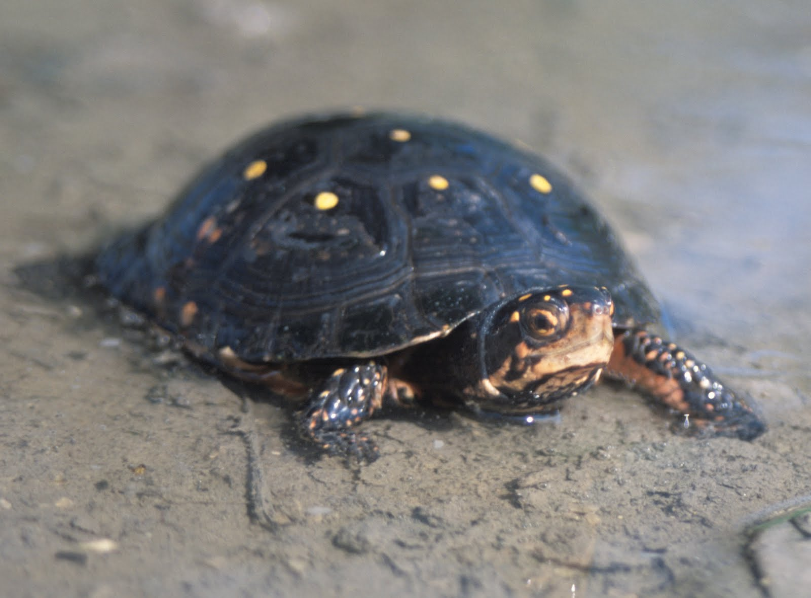 Tarta rughe le canadesi in pericolo for Letargo tartarughe acquatiche