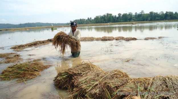 Akibat Banjir Produksi Beras Sultra Anjlok