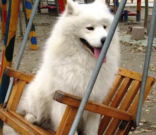 Cute samoyed Puppies Photos