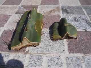 esquejes de cactus