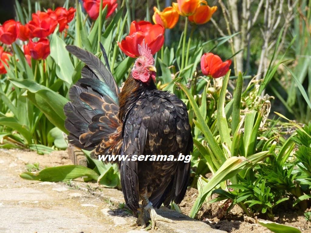 foto ayam serama - gambar hewan - foto ayam serama
