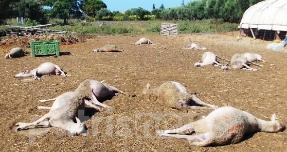 Νέα κτηνωδία: Δηλητηρίασαν ολόκληρο κοπάδι με πρόβατα μαζί και 4 σκυλιά