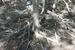 Mangrove trees in Rừng Sác guerilla base