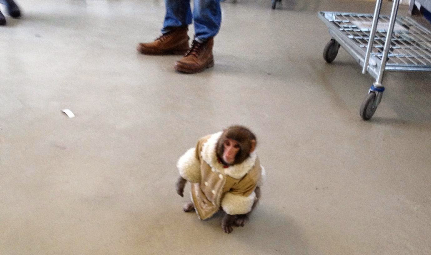 IKEA monkey, IKEA Christmas, shearling coat, toronto,
