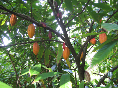 Cocoa (Theobroma Cacao) Overview, Health Benefits, Side effects