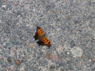 photo of a butterfly (moth?) on a gravel driveway