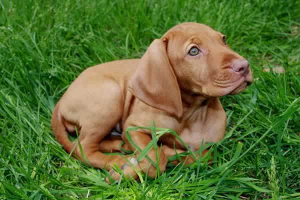 Cute Rhodesian Ridgeback Puppies Wallpaper Desktop HD