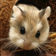 Cara Mememelihara Hamster