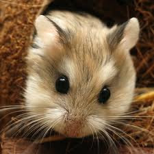 cara merawat hamster untuk pemula