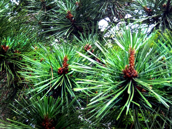 Tokyo Tetsugakudou Koen Pine Trees