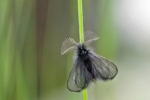 Ptilocephala agrostidis