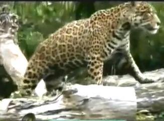 foto jaguar
