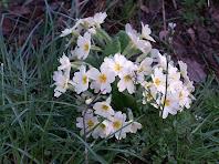 Detall d'una de les moltes mates de prímula (Primula vulgaris) que trobem arran del rec