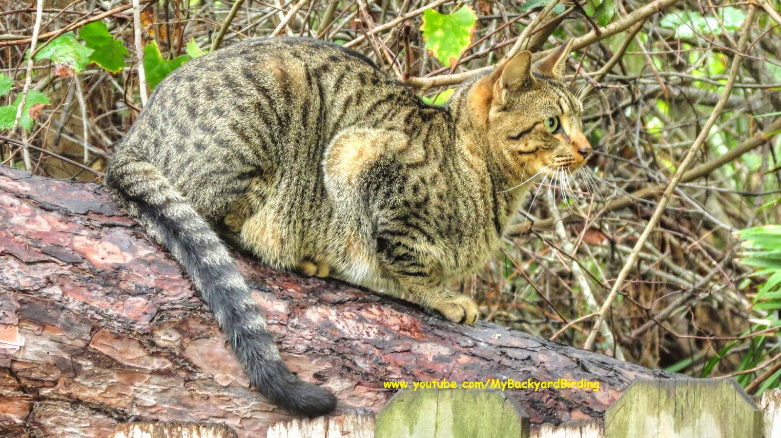 Feral Tabby Cat in the Woods - Amazing Cat Camouflage