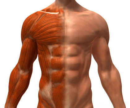 Within the body: Muscular system