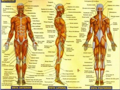 el cuerpo humano: SISTEMA MUSCULAR