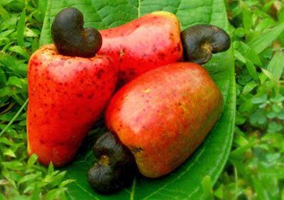 fruit of islam is a cashew a fruit