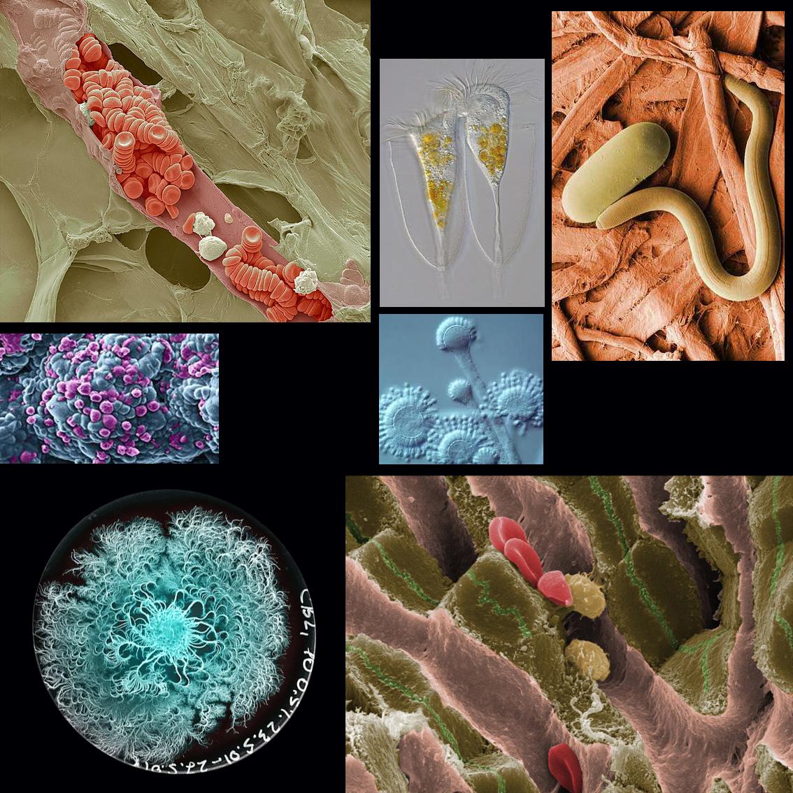 globulos, parasitos y otras micrografias