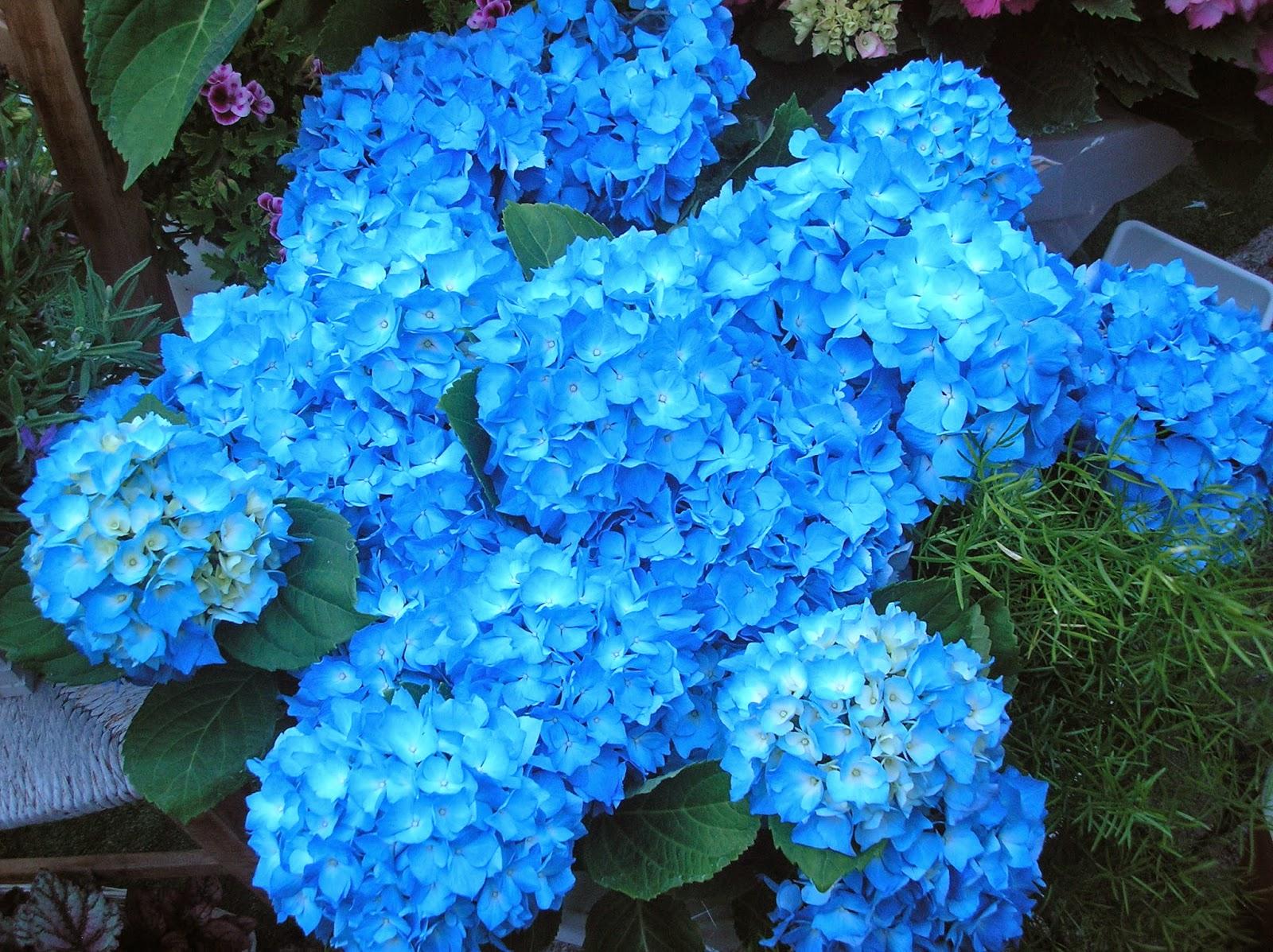 Imagenes De Rosas Azules Naturales - Rosas azules rosales con rosa azul Foro de InfoJardín