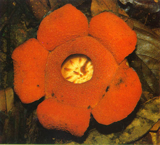 Beautiful Rafflesia Tengku-Adlinii