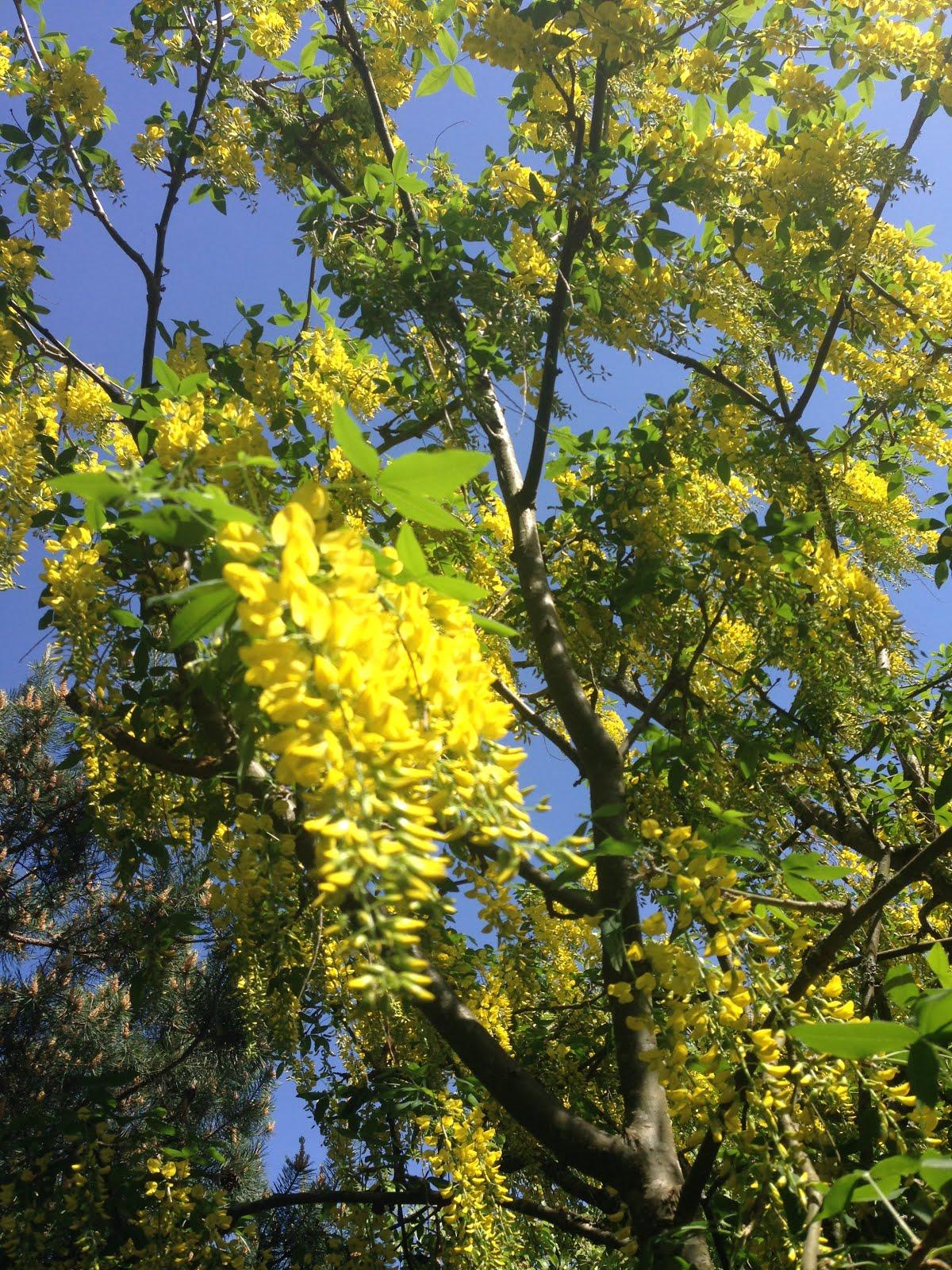 Gullregnsträdet som Olle planterade.