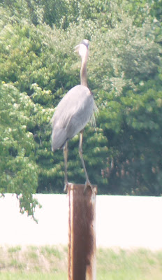heron on post