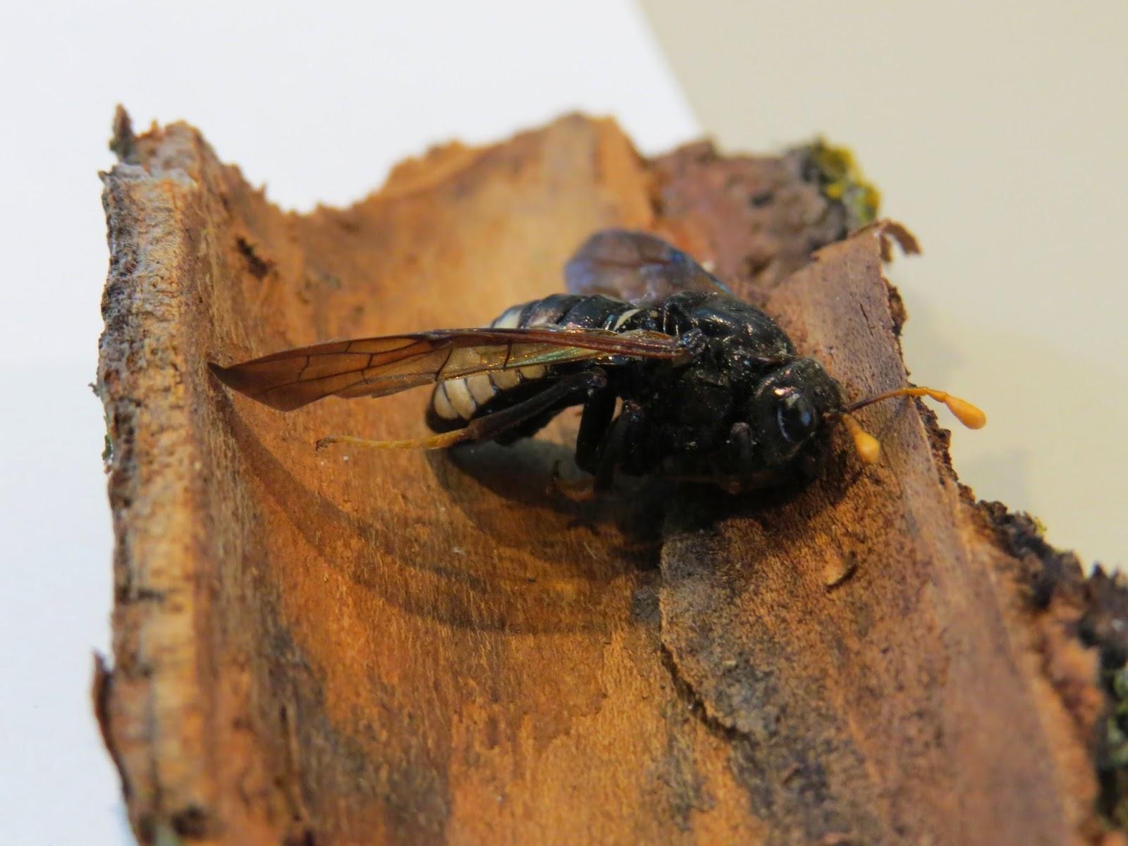 Une abeille native d'Amérique du Nord, vue de près.