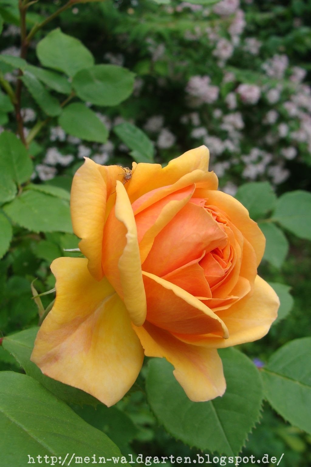 mein waldgarten wenn die edlen rosen wieder bl hen. Black Bedroom Furniture Sets. Home Design Ideas