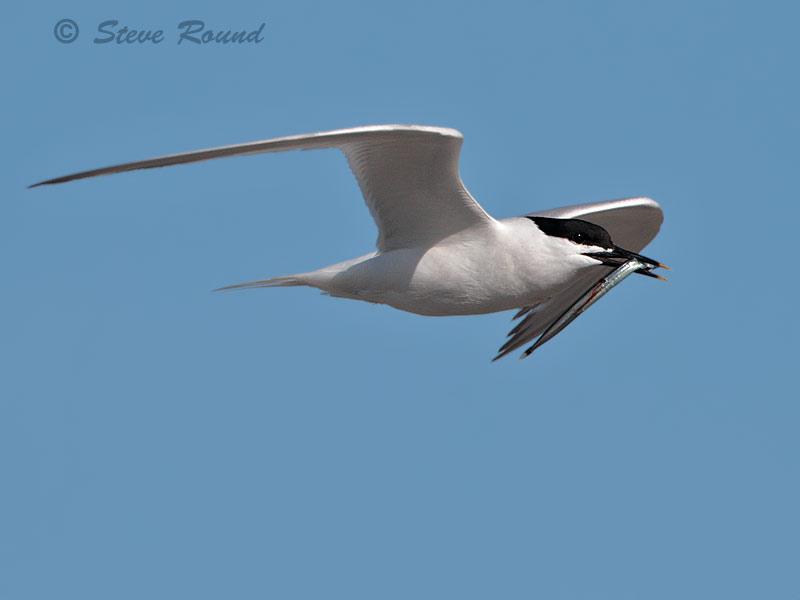sandwich tern, seabird, bird, nature, wildlife