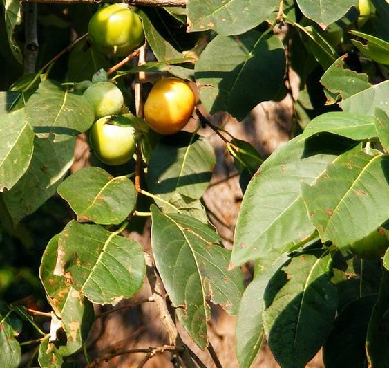 American persimmon tree directory