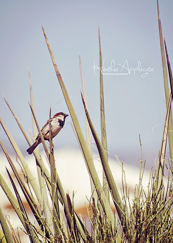 http://heather-applegate.artistwebsites.com/featured/sparrow-on-the-yucca-heather-applegate.html
