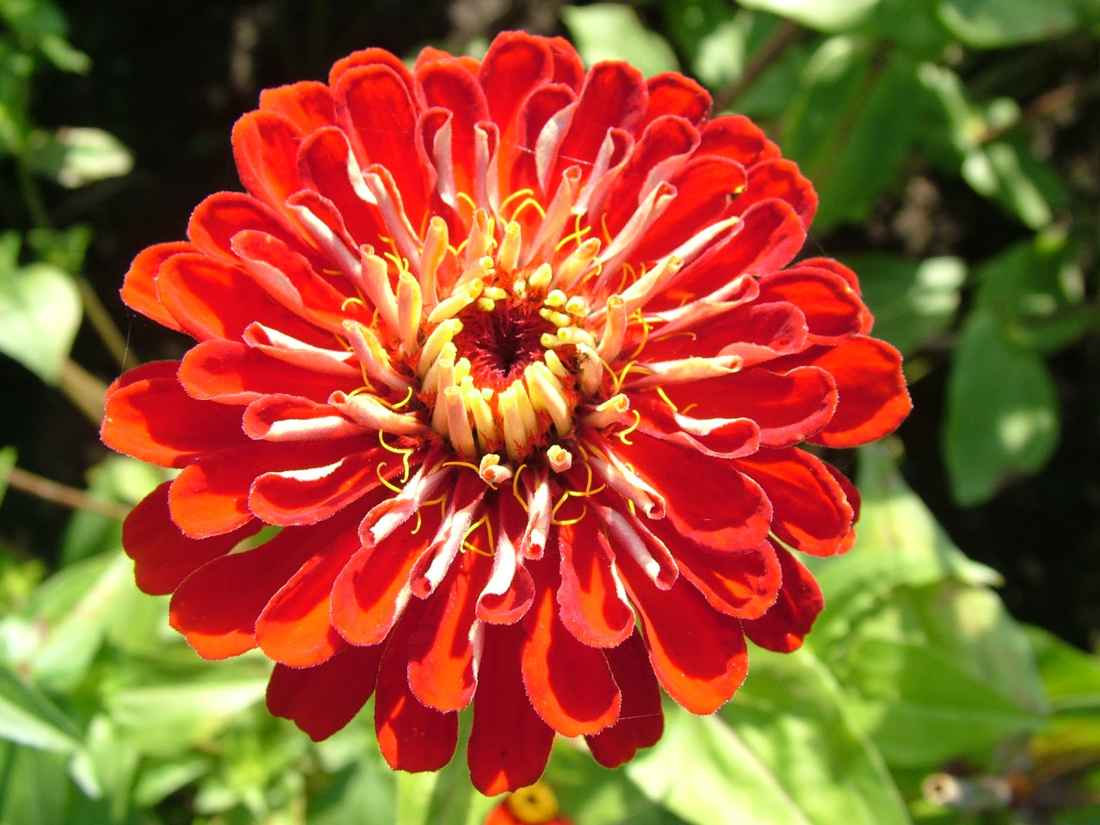 Zinnia Pictures Of Flowers