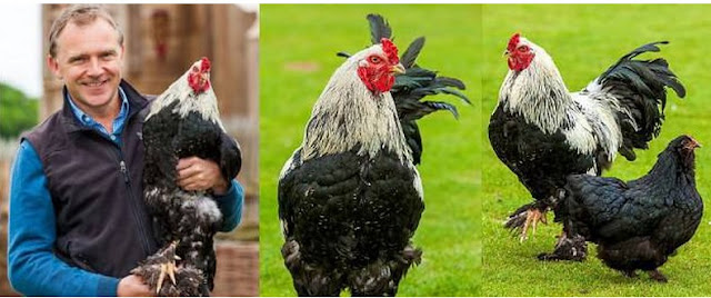 Ini Dia Ayam Terbesar Di Dunia Setinggi 66 cm