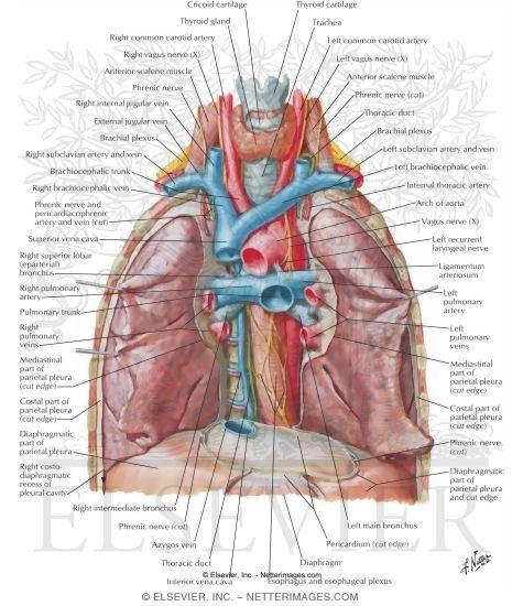 Superior mediastinum anatomy