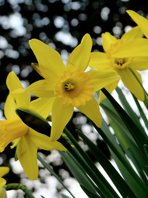 bright yellow close up photograph of springtime daffodils