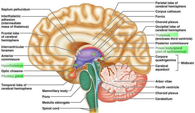 Jules musings 4 years it was located in the middle of some of the most fundamental and critical parts of the brain and brainstem atrophy of the thalamus can occur from the ccuart Images
