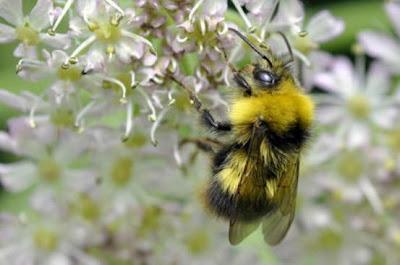 Lebah Bumblebee