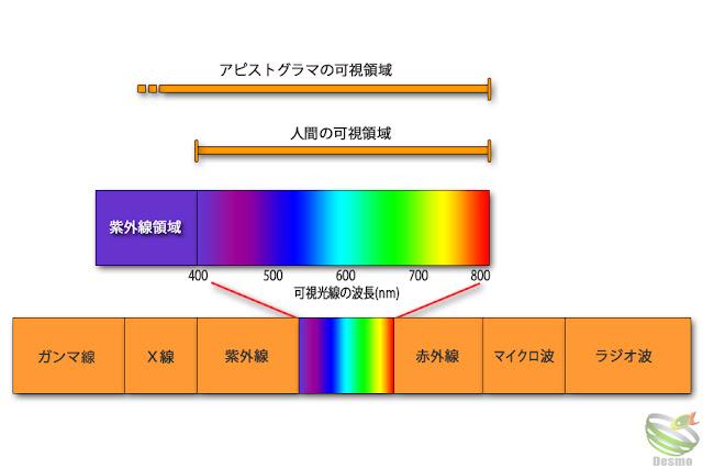 アピストグラマの可視領域