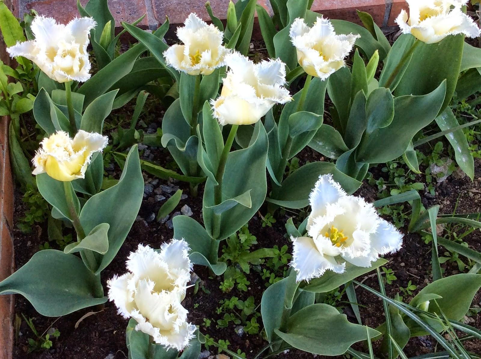 4 coins au jardin mes essais de bulbes - Planter des tulipes en mars ...