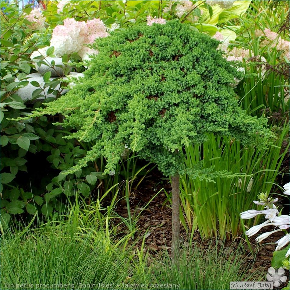 Juniperus procumbens 'Bonin Isles' - Jałowiec rozesłany 'Bonin Isles' pokrój