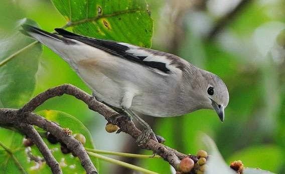 Foto Burung Cucak Kapas Jantan