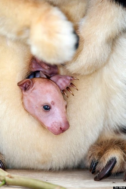 Newborn Baby Matschie s Tree Kangaroo Saying Hello to World  Photos Newborn Baby Kangaroo