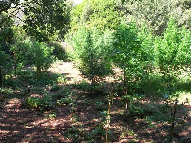 Εντοπίστηκε φυτεία με 100 δενδρύλλια κάνναβης σε δασώδη περιοχή στην Αγιά Πάργας!!!