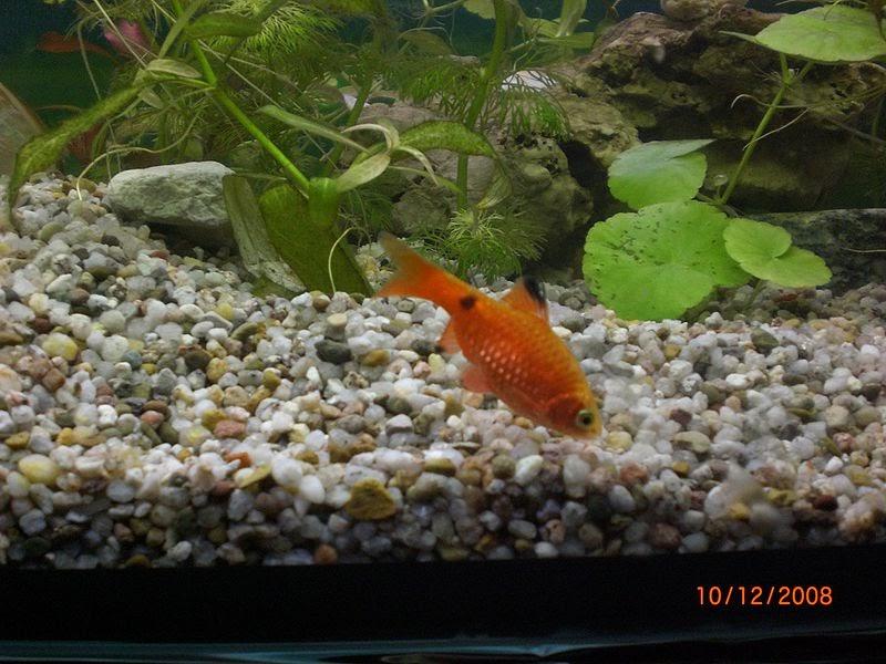 interruptus angelfish